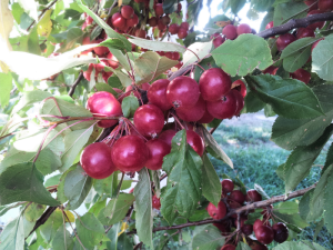 Beautiful Red crabapples