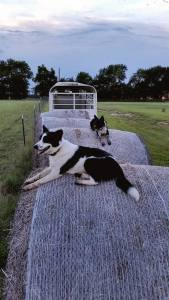 Annie and Oakley watching over the cattle in the field