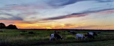 Evening on the dairy farm
