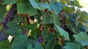Seeking and searching for hidden treasures under the grape leaves