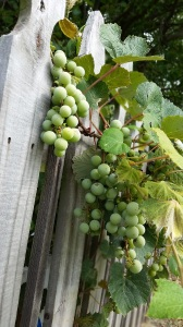 Wooden fence with grapes ready to be ripened
